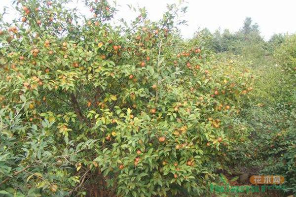 高州油茶_油茶都有哪些品种_油茶的分布范围 - 中国花木网