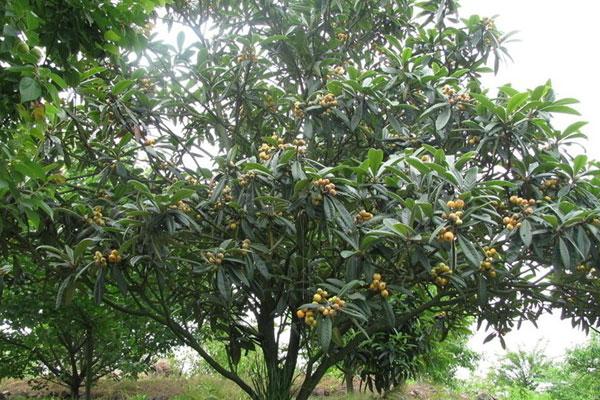 怎么种好枇杷树?枇杷树种植技术方法