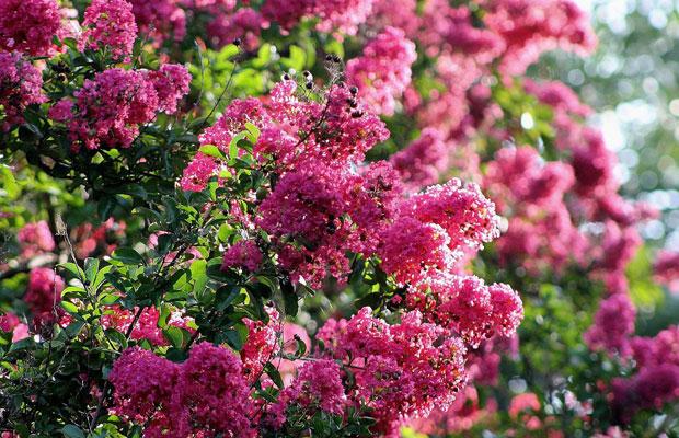 紫薇树什么时候开花?紫薇树的病害防治方法
