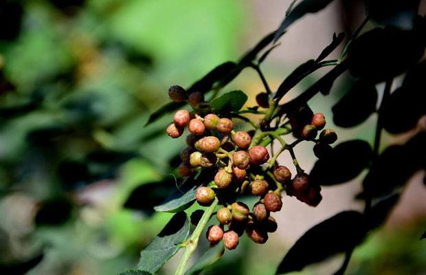 花椒树怎么繁殖的?花椒树的栽培方法