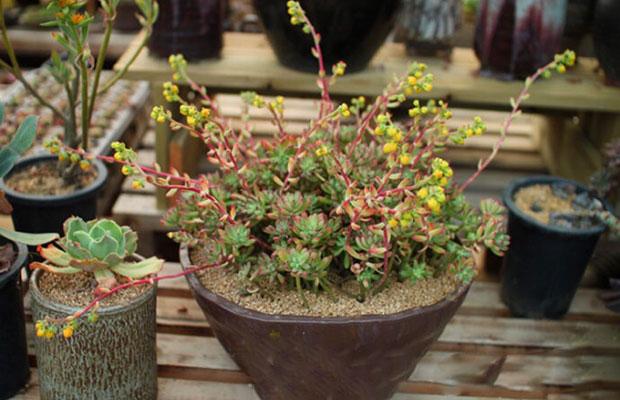 """泰安花卉市场""""春""""意盎然,多肉植物受欢迎!"""