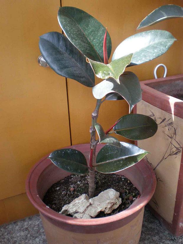 橡皮树的养护方法和种植注意要点