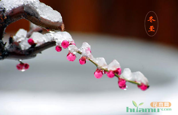 今日冬至|苗木时节 腊梅初放