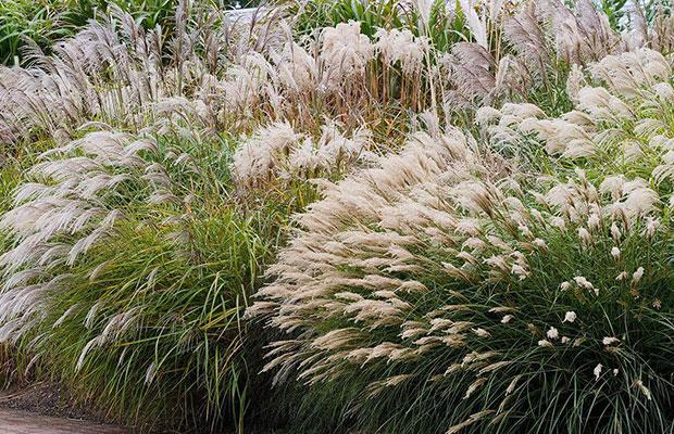 观赏草用于园林绿化还需注意一些问题