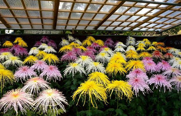 菊花产业为什么在日本发展这么好?