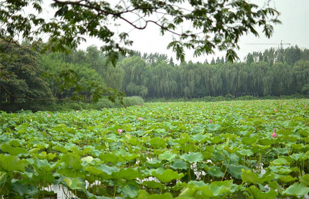 武义物种园带动荷花产业发展