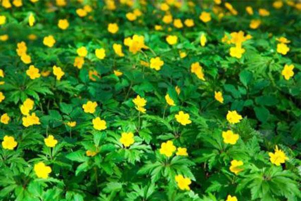 北京绿化新主力 乡土地被植物应用广泛