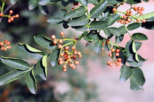 花椒的栽培管理方法和养护注意事项
