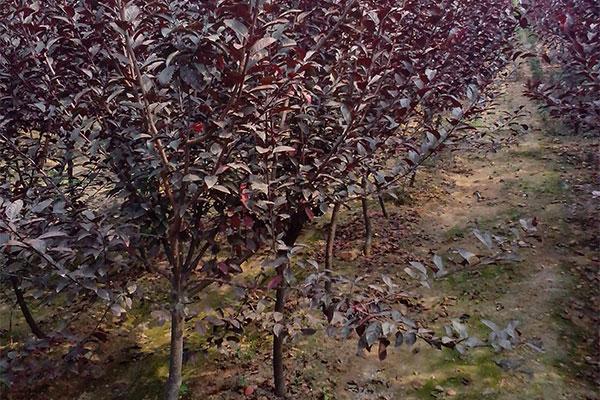红叶李观赏价值高,养护过程多加注意