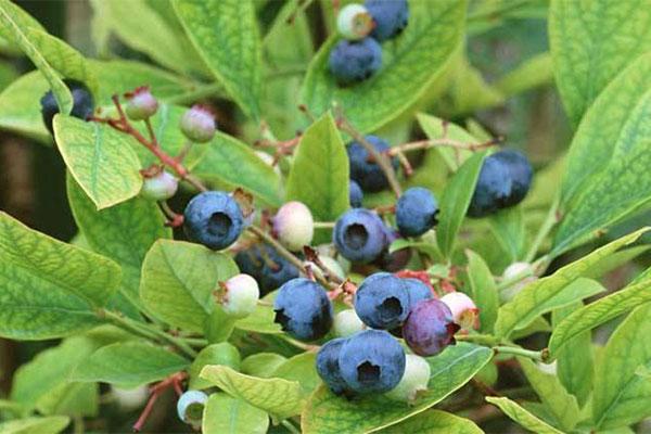 桐庐:他用蓝莓激活了一片山头