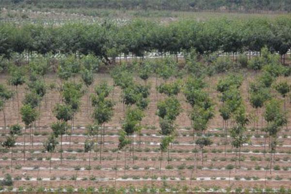 山东青岛苗木市场开始关注品质