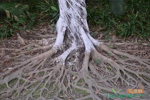 国际树木学会:客观公正的树木规格标准!