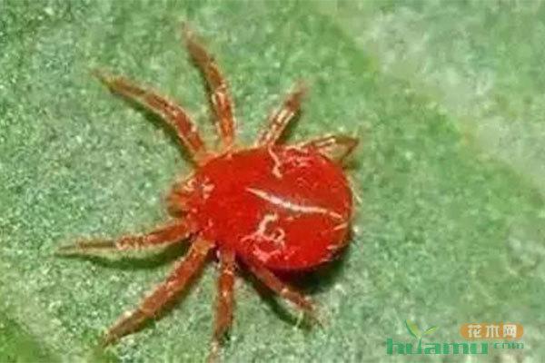 蚜虫、红蜘蛛、介壳虫三大害虫的防治方法