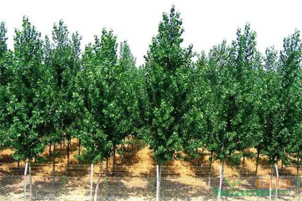 这样培育出的苗木,价格可以高出数倍!