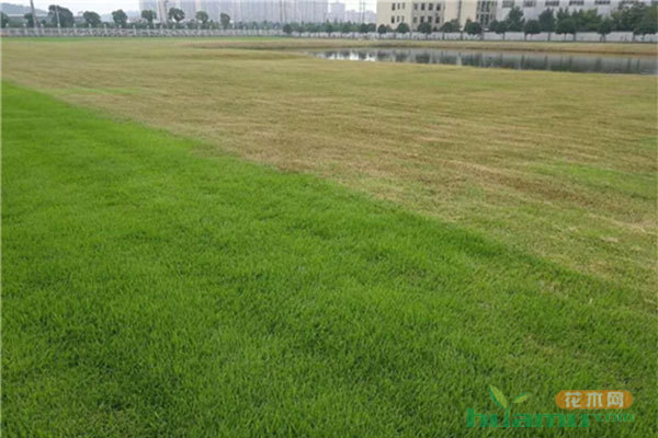 6-8月份草坪大面积发黄枯死是什么原因?