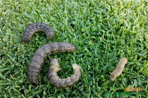 6-8月份草坪大面積發黃枯死是什么原因?