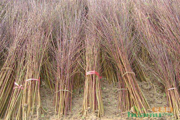 苗木该不该做中央树杆培养?