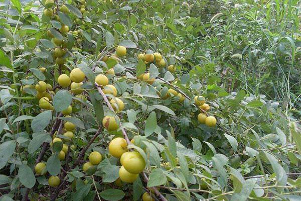 钙果苗的栽植和管理技术