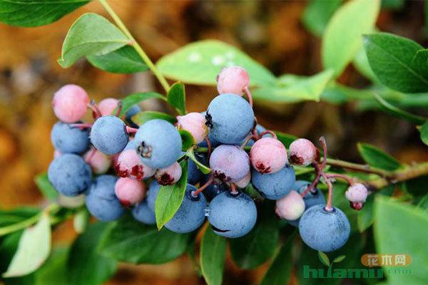 蓝莓苗的挑选及其种植技术