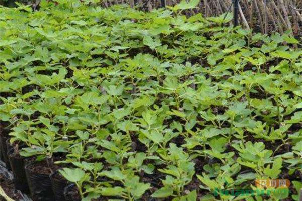 无花果苗的挑选及种植方法
