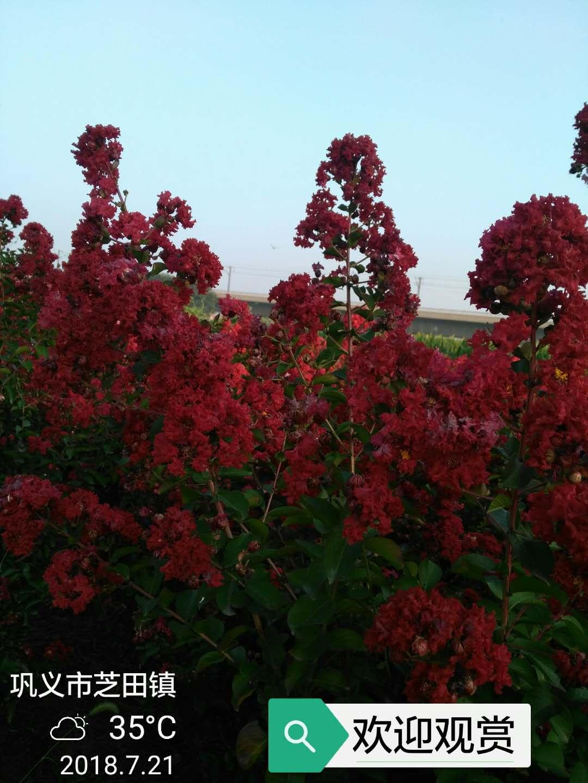 美国红火球紫薇小苗图片