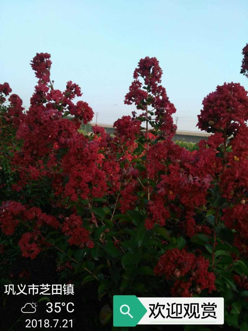 美国三红紫薇红火箭图片