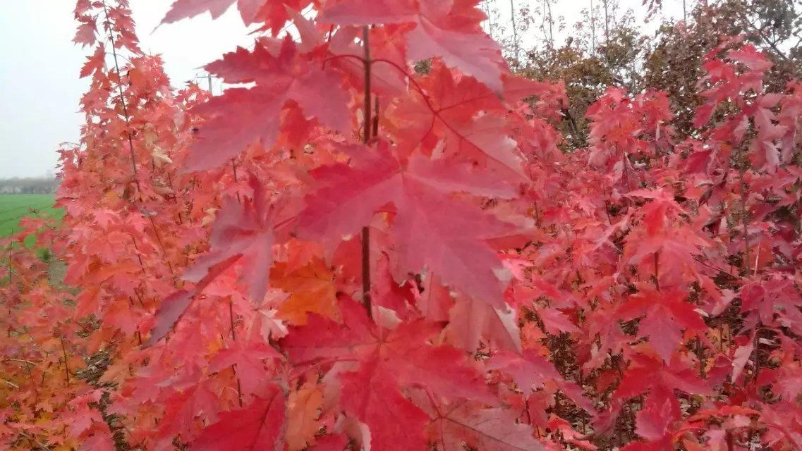 美国红枫秋火焰图片