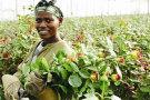 肯尼亚鲜花种植比欧洲更具可持续性