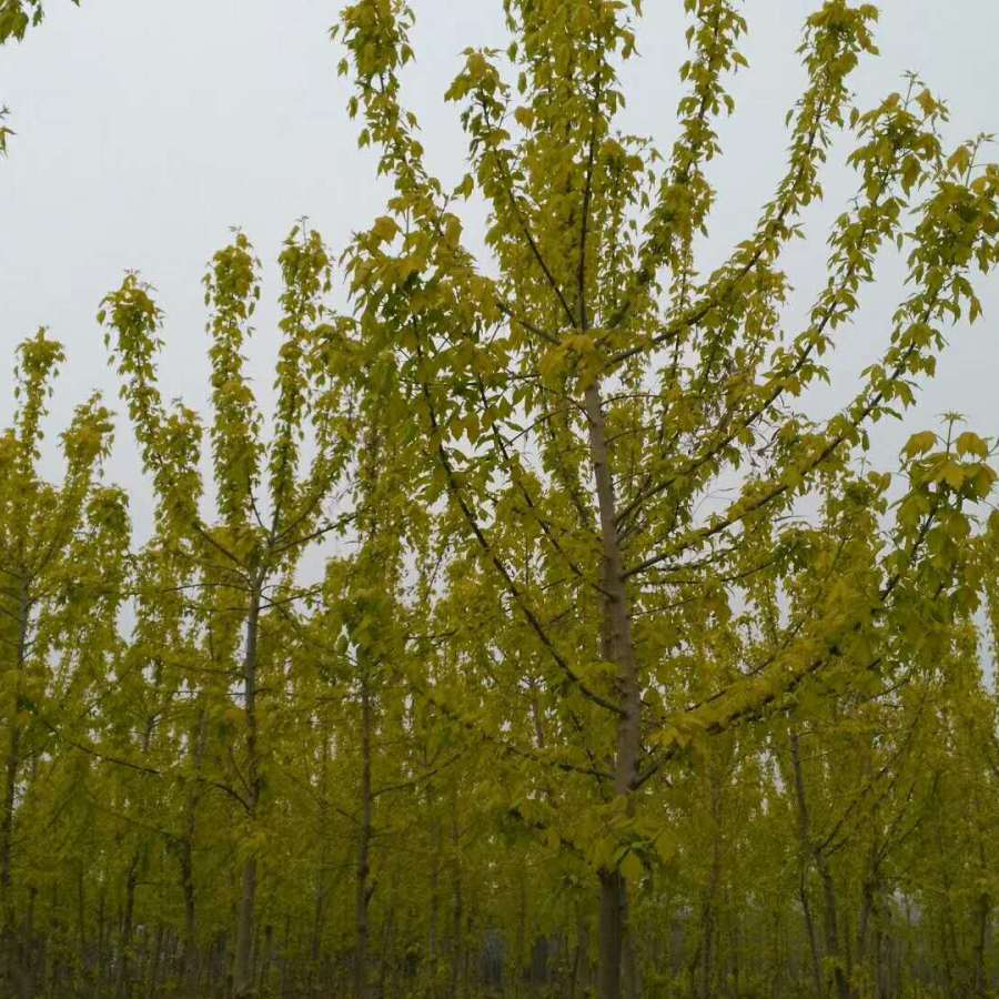 金叶复叶槭图片