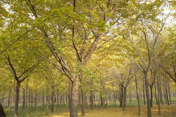 云南昆明全冠乔木市场认可度增加