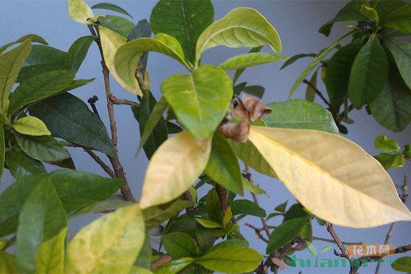 植物叶片黄化、有斑点的治理办法
