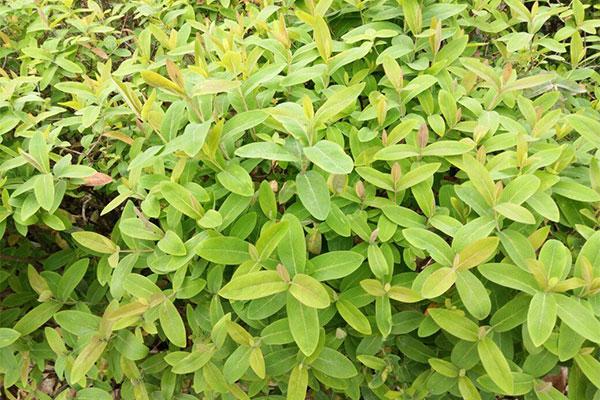 雀舌黄杨怎么栽培?需要注意的方法有哪些?