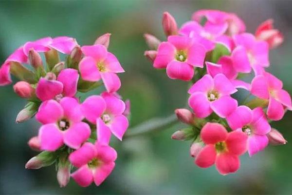 长寿花的扦插繁殖方法和注意事项