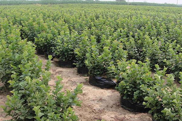 苗木种植摘穷帽 产业开发奔小康