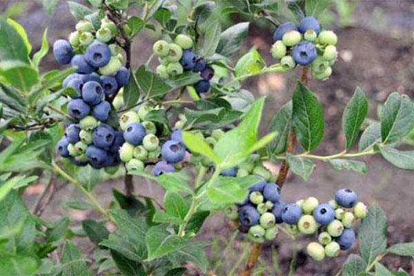 蓝莓苗种植,这几个因素决定成败!
