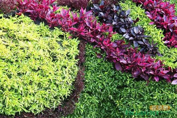 行情大好的地被植物,了解一下!