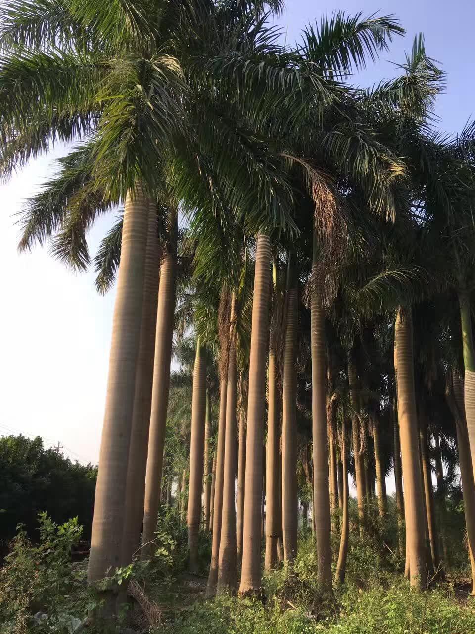 福建龙海_福建大王椰子价格批发8米高 - 中国花木网