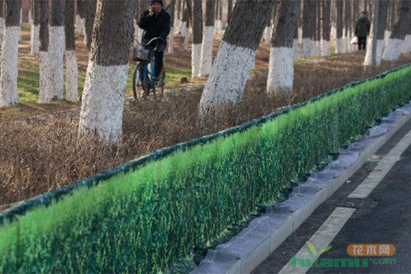 南阳城区中心广场绿化带 一些绿化苗木枯死