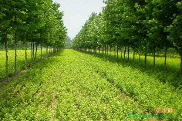 秋季这几种肥料搭配使用,苗木不容易受冻