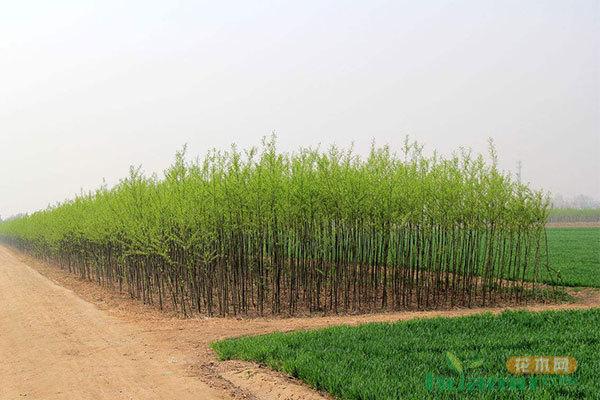 年入百万的苗圃是怎么获得苗木订单的?