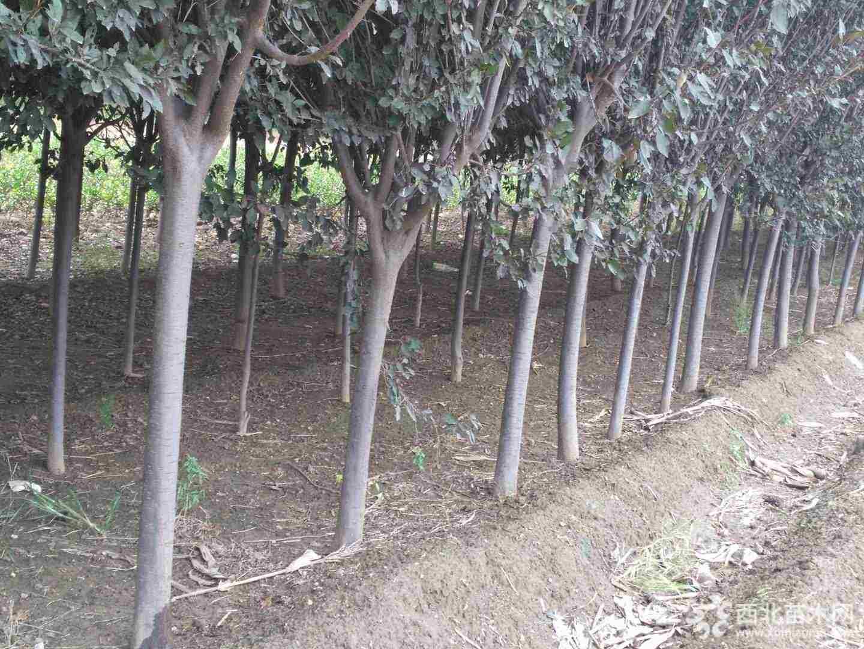 郑州彩色苗木基地--供6-10公分红叶李