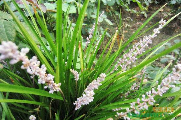 麦冬草和麦冬的是一种植物吗?