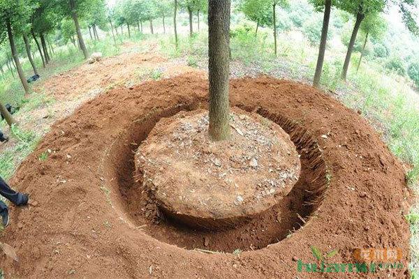 苗木施工最易忽略的几个问题,苗子长不好多半是因为它!