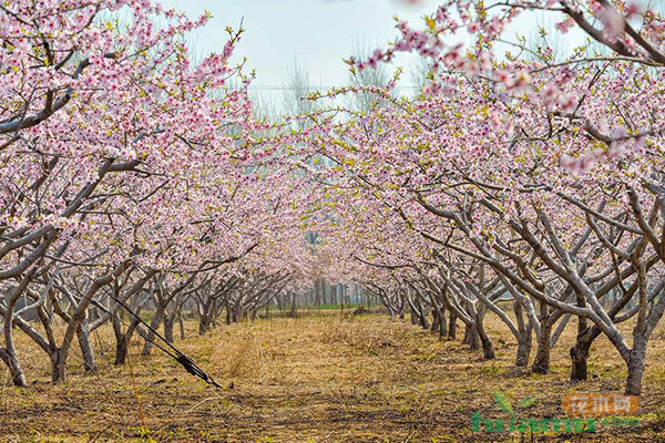 新沂时集镇:一棵桃树撬动的甜蜜产业