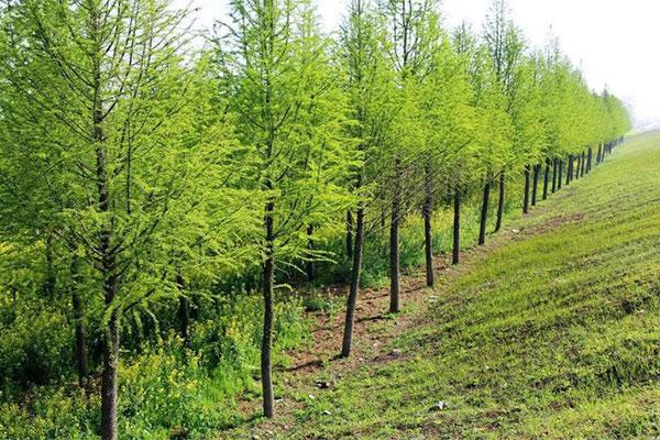 雄安2.1万亩秋季植树造林启动,大量需求的好苗子你有吗?