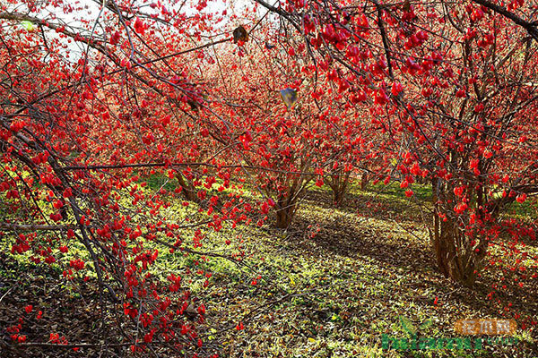 重阳节来了解山茱萸的栽培技术