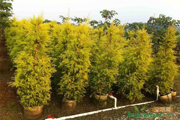 身价过亿回农村 种多彩苗木赚千万财富