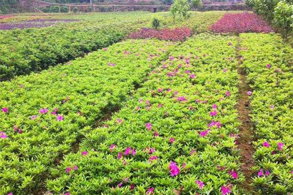 温江努力打造全国最大 花木进出口集散地