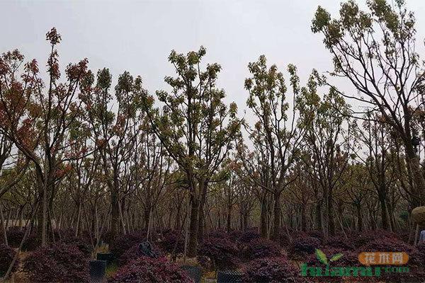 苗木移栽什么时机最合适?