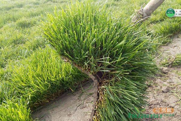 立冬,冷季型草坪开始进入俏销期